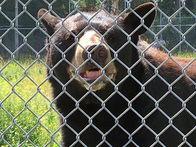 Black bear resistant