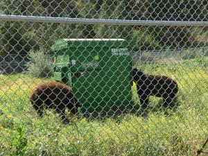 Hamilton & Petunia (black bears) 071317