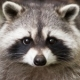 Concerned about raccoons and rabies? We understand!